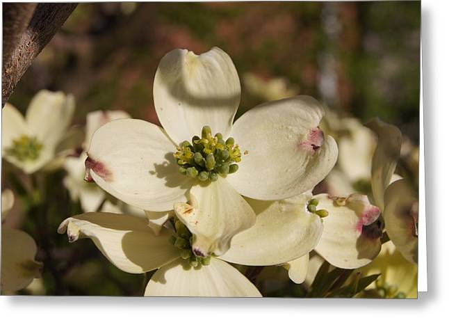 Reflections Of Infinity Llc Greeting Cards - Dogwood Begins to Bloom 1 Greeting Card by Robert E Alter Reflections of Infinity