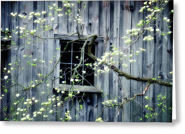 Nature Scene Photographs Greeting Cards - Dogwood Blossoms  Greeting Card by Thomas Schoeller