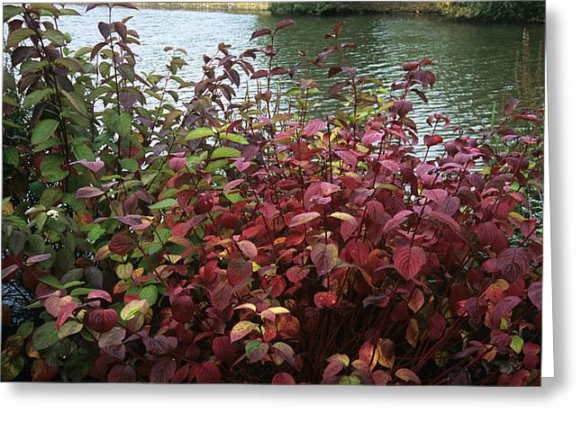 Dogwood Lake Greeting Cards - Dogwood (cornus Alba sibirica) Greeting Card by Adrian Thomas