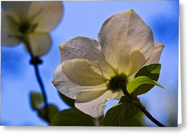 Dogwood Greeting Cards - Dogwood II Greeting Card by Rick Berk