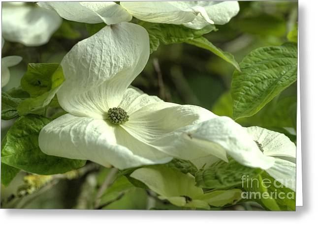Dogwood Greeting Card by Rod Wiens