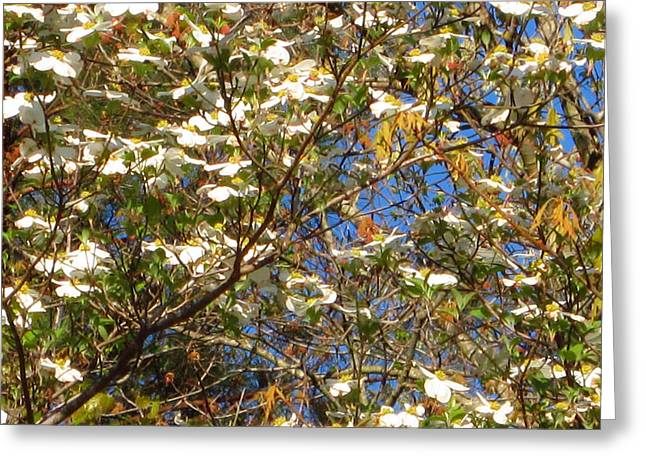 Dogwood Lake Greeting Cards - Dogwoods in Bloom Greeting Card by Barry Jones