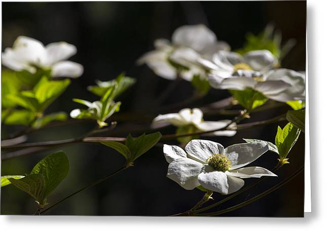 Dogwood Greeting Cards - Dogwoods Greeting Card by Rick Berk