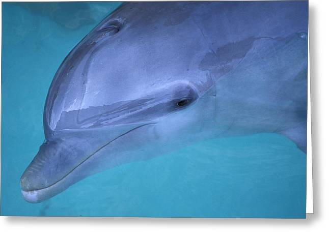 Delphinidae Greeting Cards - Dolphin II Greeting Card by Christian Heeb