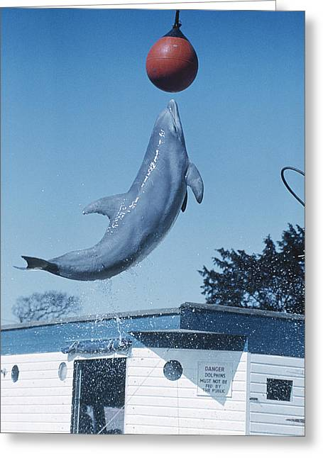 Aquatic Display Greeting Cards - Dolphin Leaping For Ball Greeting Card by Peter Scoones