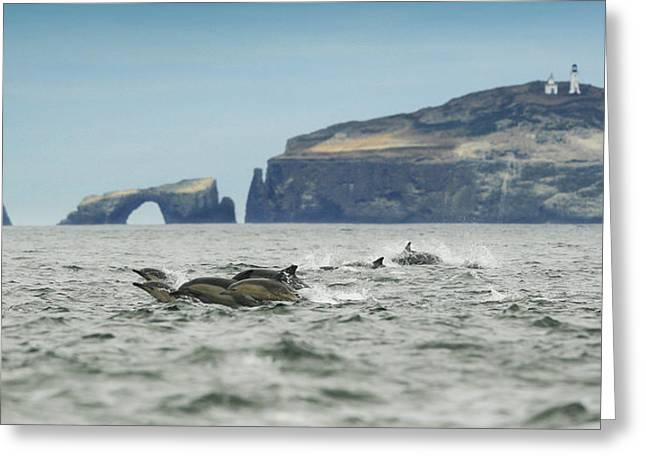 Ventura California Greeting Cards - Dolphin Pod at Anacapa Arch Greeting Card by Steve Munch