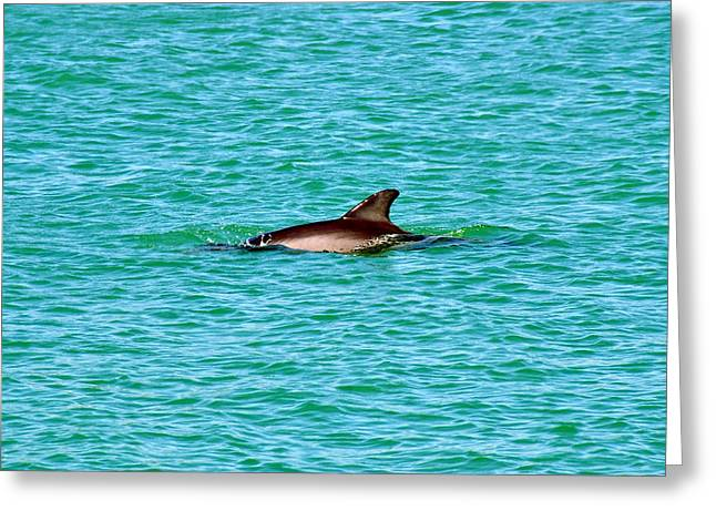 Clean Water Greeting Cards - Dolphin swimming Greeting Card by David Lee Thompson
