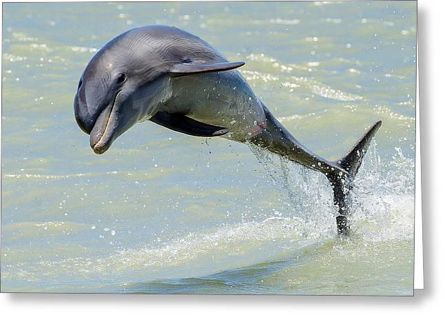 Delphinidae Greeting Cards - Dolphin Greeting Card by Wade Aiken