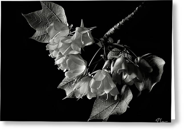 Flower Photos Greeting Cards - Dombeya in Black and White Greeting Card by Endre Balogh