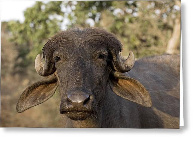 Close Up Buffalo Greeting Cards - Domestic Asian Water Buffalo Greeting Card by Tony Camacho