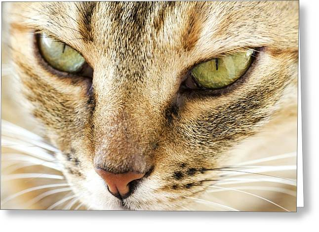 Felis Silvestris Catus Greeting Cards - Domestic Cat Greeting Card by Photostock-israel