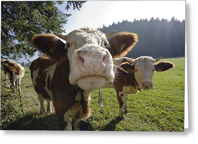 Bos Bos Greeting Cards - Domestic Cattle Bos Taurus On Pasture Greeting Card by Konrad Wothe