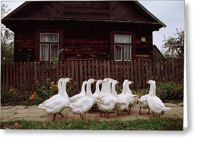 Slavic Greeting Cards - Domestic Geese On A Street Greeting Card by Raymond Gehman