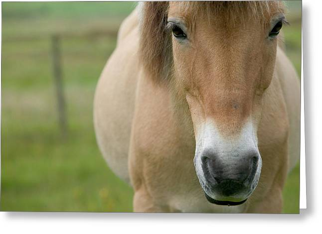 Domestic Horse Equus Caballus Portrait Greeting Card by Cyril Ruoso