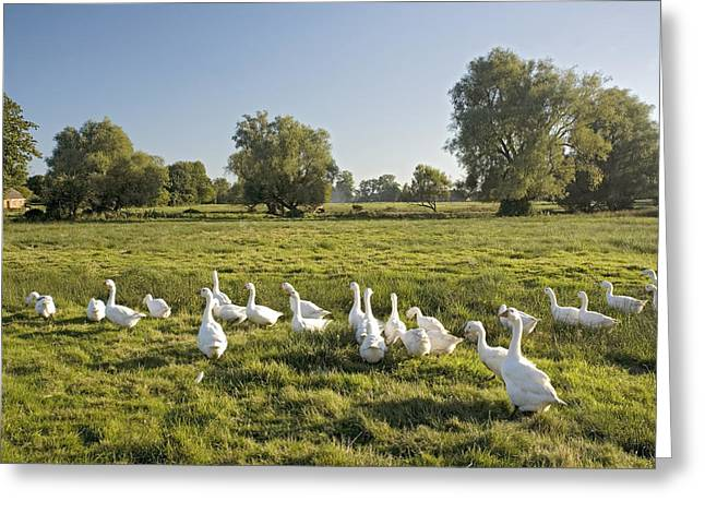 Land Use Greeting Cards - Domesticated Geese Grazing Greeting Card by Bob Gibbons