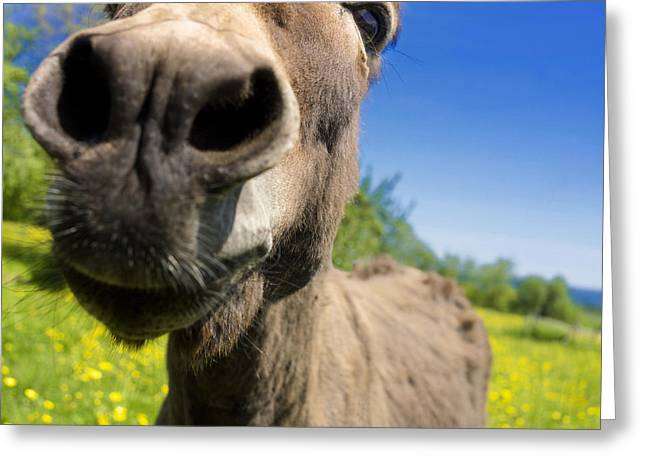 Mammalian Greeting Cards - Donkey. Closeup Greeting Card by Bernard Jaubert