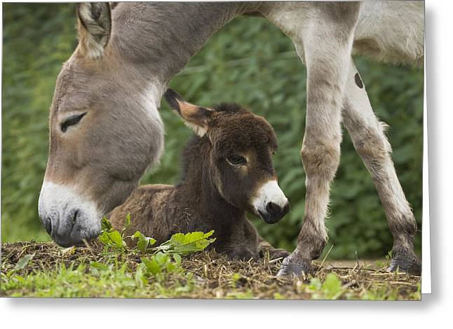 Baby Donkey Greeting Cards - Donkey Equus Asinus Adult With Foal Greeting Card by Konrad Wothe
