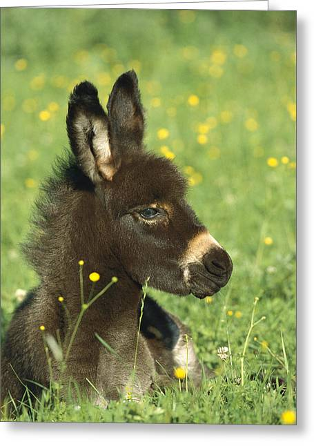 Baby Donkey Greeting Cards - Donkey Equus Asinus Foal Resting Greeting Card by Konrad Wothe