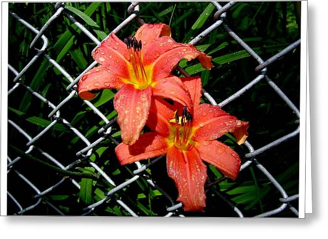 Day Lilly Greeting Cards - Dont fence me in Greeting Card by Frank Wickham