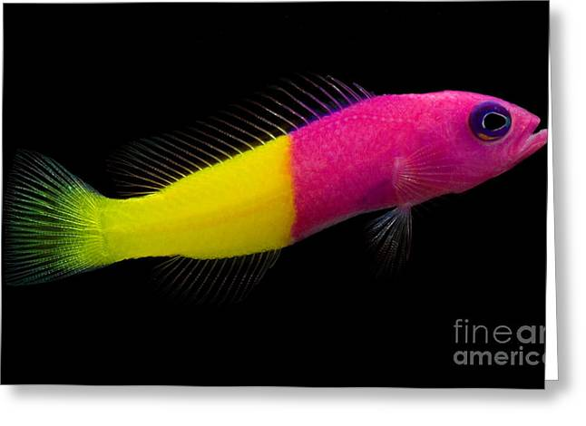 Reef Fish Greeting Cards - Dottyback Greeting Card by Danté Fenolio