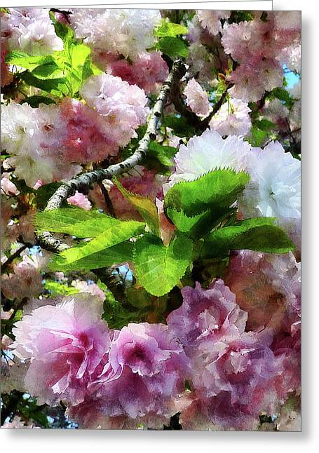Flowering Tree Greeting Cards - Double Cherry Blossoms Greeting Card by Susan Savad