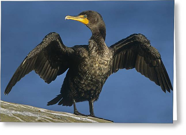Phalacrocorax Auritus Greeting Cards - Double Crested Cormorant Drying Greeting Card by Tim Fitzharris