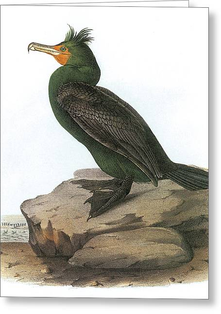 Water Fowl Greeting Cards - Double-crested Cormorant Greeting Card by John James Audubon
