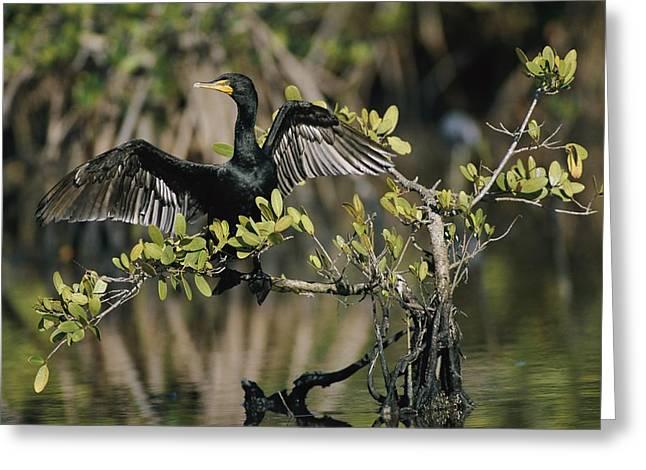 Phalacrocorax Auritus Greeting Cards - Double-crested Cormorant Phalacrocorax Greeting Card by Roy Toft