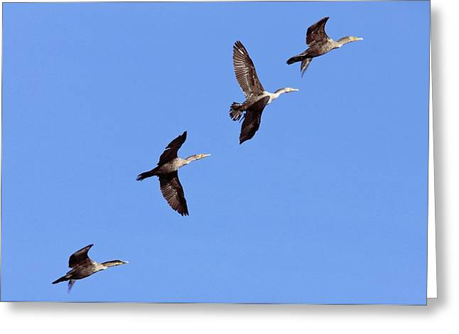 Double-crested Cormorant Greeting Cards - Double-crested Cormorants Greeting Card by Bob Gibbons