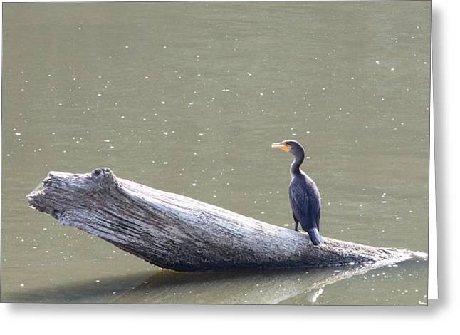 Double-crester Cormorant Greeting Card by Jack R Brock