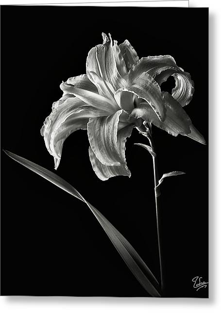 Flower Photos Greeting Cards - Double Day Lily in Black and White Greeting Card by Endre Balogh
