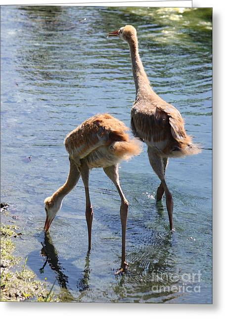 Sandhill Crane Chick Greeting Cards - Double Dipping Greeting Card by Carol Groenen