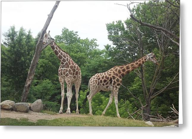 Brianna Greeting Cards - Double Giraffes Greeting Card by Brianna Thompson