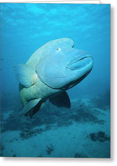 Ai Greeting Cards - Double-headed Maori Wrasse Cheilinus Greeting Card by Mark Spencer