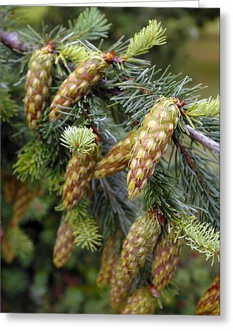 Fir Trees Greeting Cards - Douglas Fir Cones Greeting Card by Kaj R. Svensson