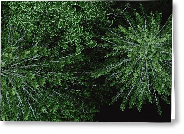 Pinaceae Greeting Cards - Douglas Fir Pseudotsuga Menziesii Greeting Card by Mark Moffett