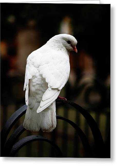 Best Sellers -  - Southern Province Greeting Cards - Dove in Repose Greeting Card by Lorraine Devon Wilke