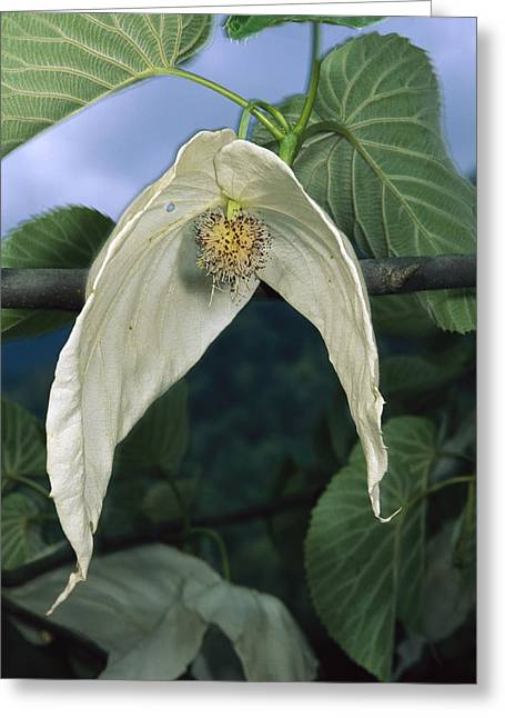 Sichuan Province Greeting Cards - Dove Tree Davidia Involucrata Blossom Greeting Card by Mark Moffett
