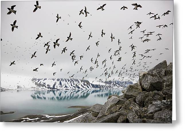 Image Collection Book Greeting Cards - Dovekies Returning From Sea To Nest Greeting Card by Paul Nicklen