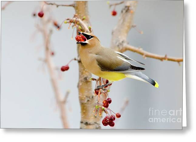 Cedar Waxwings Greeting Cards - Down the Hatch Greeting Card by Betty LaRue