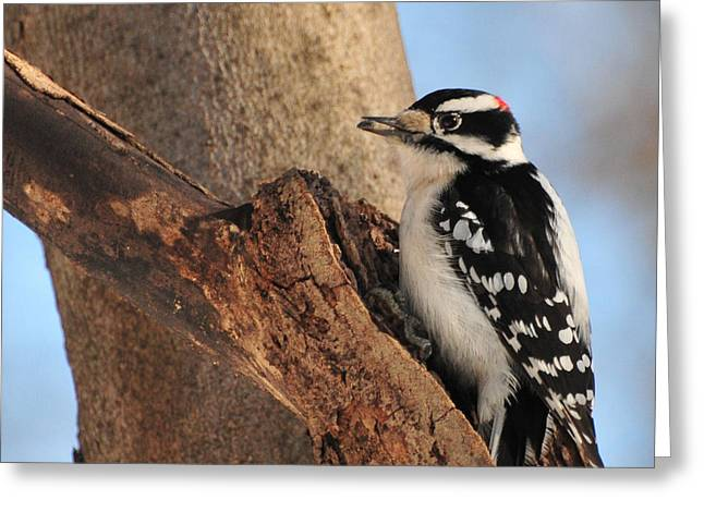In Mouth Greeting Cards - Downey Woodpecker Greeting Card by Paul Ward