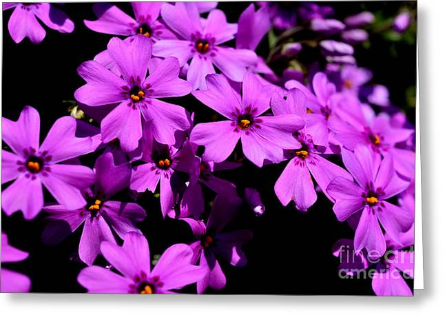 Downy Greeting Cards - Downy Phlox Greeting Card by Thomas R Fletcher