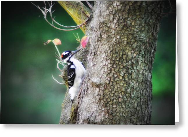 Downy Greeting Cards - Downy Woodpecker Greeting Card by Bill Cannon
