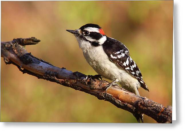 Downy Greeting Cards - Downy Woodpecker Greeting Card by Bruce J Robinson