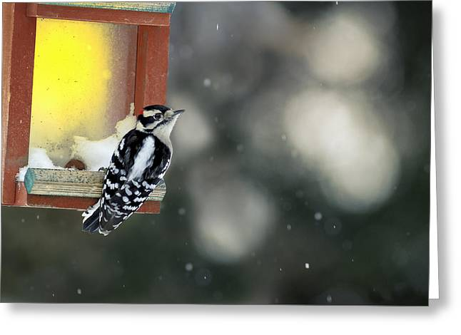 Nature Greeting Cards - Downy Woodpecker Greeting Card by Frank Iusi