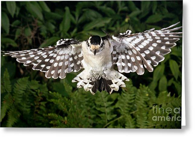Woodpecker Greeting Cards - Downy Woodpecker In Flight Greeting Card by Ted Kinsman