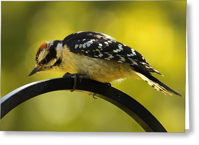 Hairy Woodpecker Greeting Cards - Downy Woodpecker Up Close 3 Greeting Card by Bill Tiepelman