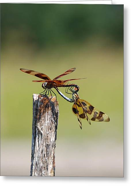 Dragon Fly Love Greeting Card by Kelly Rader