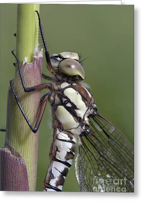 Damsel Fly Greeting Cards - Dragon Fly Greeting Card by Michal Boubin