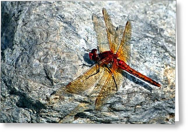 Macro Dragonfly Picture Greeting Cards - Dragon on a rock Greeting Card by Don Mann